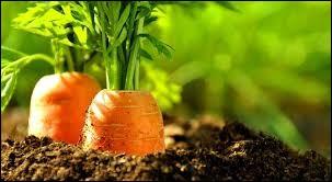 Les carottes sont ses amies...