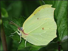 """Le nom de ce papillon est """"citron""""."""