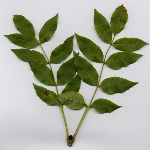 Quel arbre produit cette feuille?