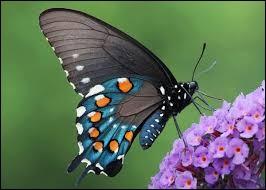 Quel est le nom scientifique du papillon ?
