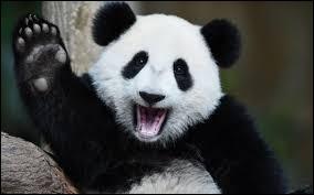 Quel est le nom scientifique du panda ?