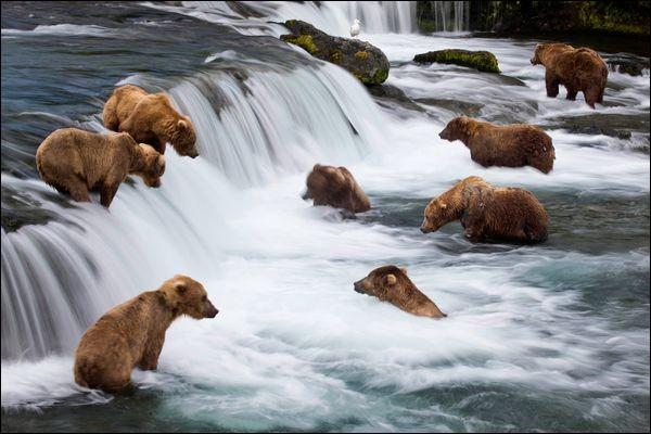 Avant d'hiberner, le grizzli doit emmagasiner des protéines, quel poisson doit-il attraper ?