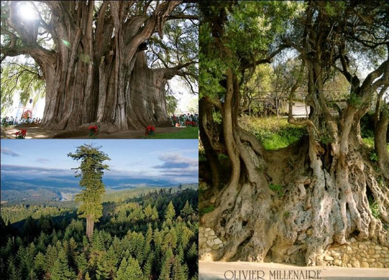Allons-nous balader à Roquebrune-Cap-Martin, dans les Alpes-Maritimes. Cette ville possède un arbre qui « détient » un record de France assez impressionnant.Quel est ce record ?
