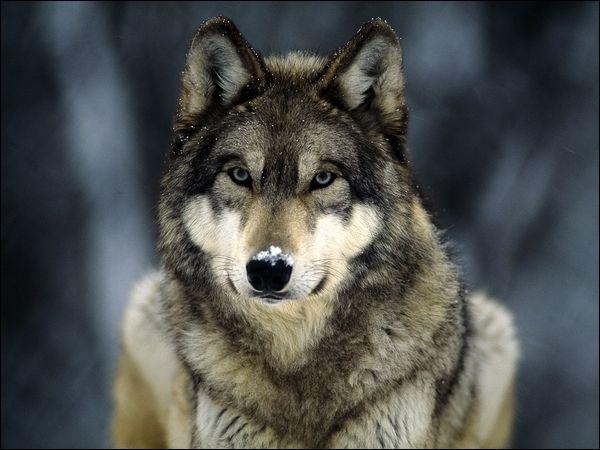 Au 20e siècle, quand a t-on vu revenir les loups en France ?