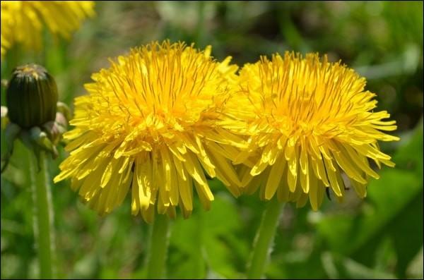 Quelle plante porte aussi le nom de dent-de-lion ?