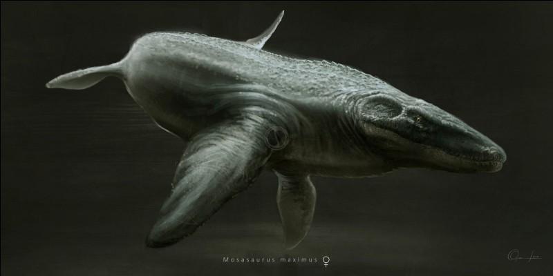 Megalania faisait figure de nain comparé à son proche cousin, le Mosasaure maximus (taille 15 mètres), l'un des plus longs reptiles marin de tous les temps.Cet animal vivait...