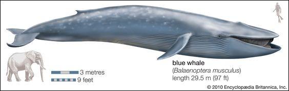 Malgré sa taille impressionnante, le Bruhathkayosaurus n'aurait pas peser aussi lourd que la baleine bleue (taille 27 mètres) et ses...