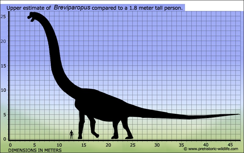 Comme l'Amphicoelias, le Breviparopus serait un dinosaure aux proportions mythiques. Cependant il n'est connu que par...
