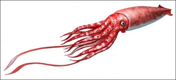 Si on ne prend pas en compte leurs 2 immenses tentacules pouvant atteindre une longueur de 10 mètres, les calamars géants de nos jours...