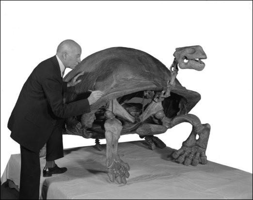 Ces 2 oiseaux ont vécu à la même époque que Testudo atlas, la plus grande tortue terrestre de tous les temps. Elle atteignait parfois la longueur de 2,5 mètres. Lorsqu'elle atteignait cette taille, cette tortue...