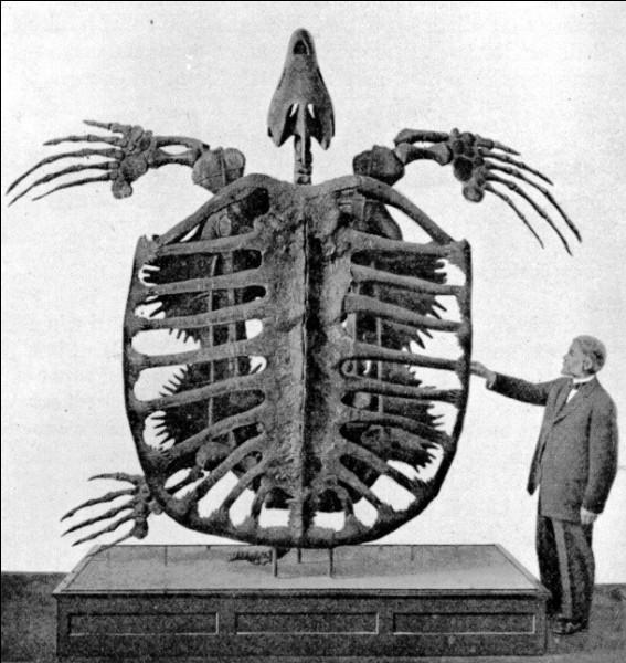 Testudo atlas n'est pourtant pas la plus grande tortue ayant existé.L'Archelon pouvait mesurer 4 mètres de long et a vécu...
