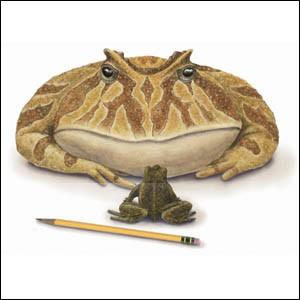 Beelzebufo (taille 41cm) vivait à la même époque que Archelon et est la plus grande espèce de la famille des Ranidés découverts. Cette grenouille disparue n'est pourtant pas beaucoup plus grosse que les plus grands Ranidés de nos jours. Aujourd'hui le record du plus gros Ranidé est détenu par...