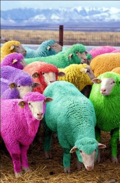 Comment peut-on faire devenir un mouton multicolore ?