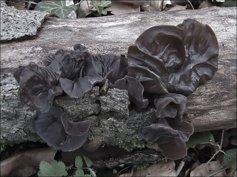Savez-vous que nos forêts alpines sont envahies par les champignons noirs, très prisés des asiatiques ? Quel est leur nom ?