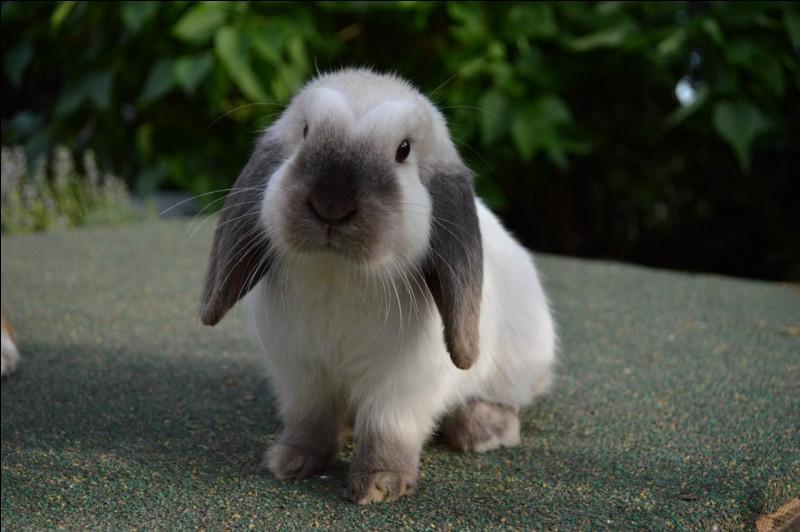 Le Bélier - Comment peut-on qualifier le lapin bélier ?
