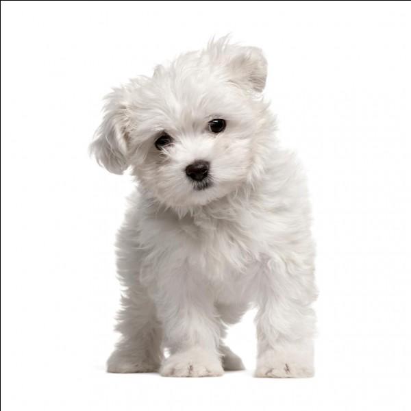 Quelle est cette race de chiens ?