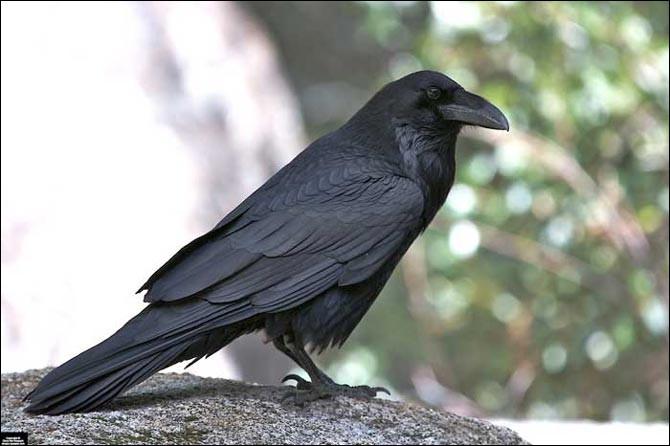 Cet oiseau noir croasse. Dans son nom, tu entends...
