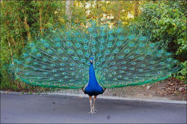 Comment écris-tu le nom de cet oiseau qui fait une jolie roue ?
