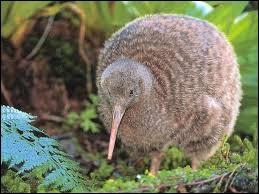 Quel est cet oiseau de Nouvelle-Zélande aux ailes très atrophiées ?