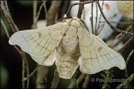 Quel est le nom de ce lépidoptère nocturne dont l'espèce principale est le papillon ?