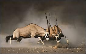 Elle a des cornes enroulées et il s'agit d'une antilope.