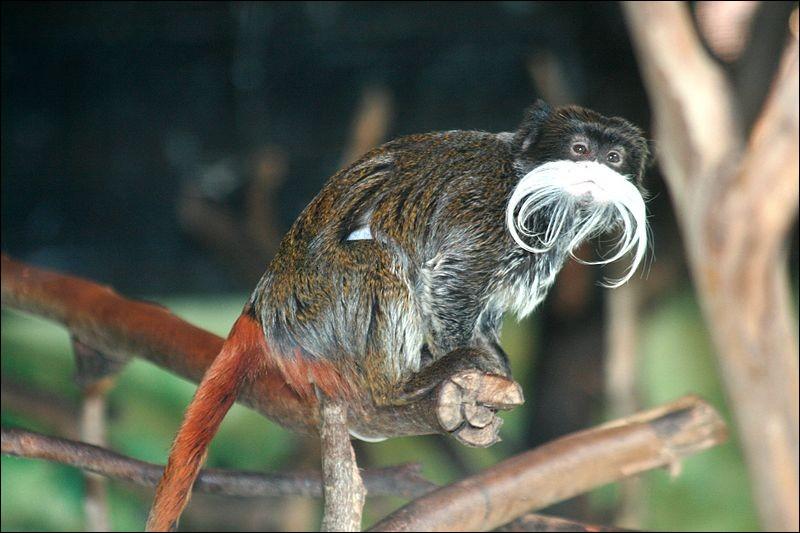 Sûrement à cause de ses moustaches, comment se nomme ce singe tamarin ?