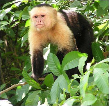 Quelle identification monastique sert pour ce singe ?