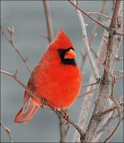 Son plumage lui a donné son nom, quel est-il ?