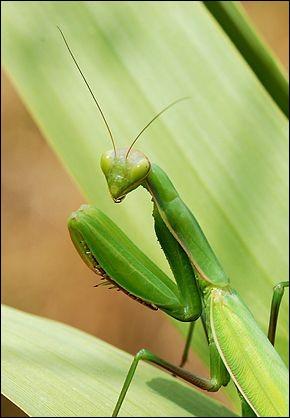 Cet insecte bien connu est une religieuse, certes, mais quel est l'orthographe exacte de son nom.