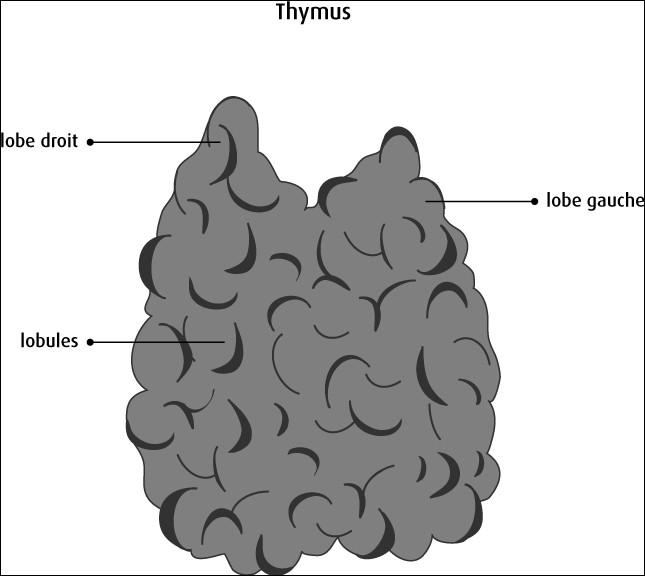 Certainement un des organes les plus énigmatiques du corps humain, le thymus. Où se situe-t-il ?