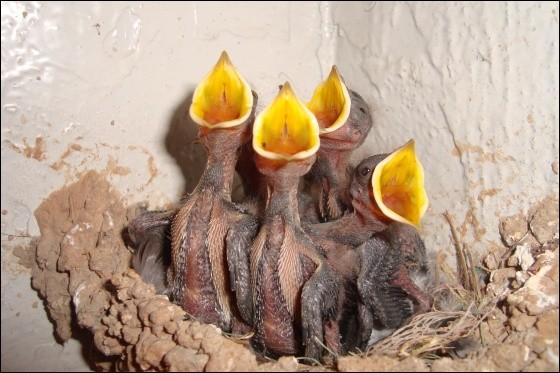 Certains oiseaux sont nidicoles, d'autres nidifuges. Lequel est nidifuge ?