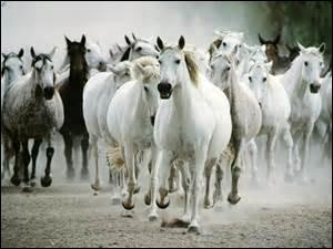 Des chevaux vivent ensemble sauvagement, ce sont des ...