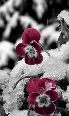 Comment étaient les violettes dans l'opérette de Vincent Scotto ?