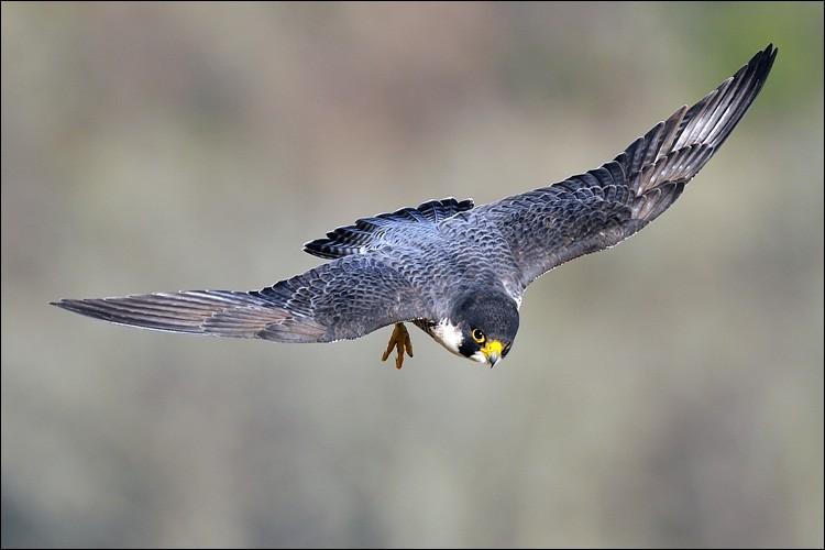 Quel est l'oiseau le plus rapide au monde, en piqué ?