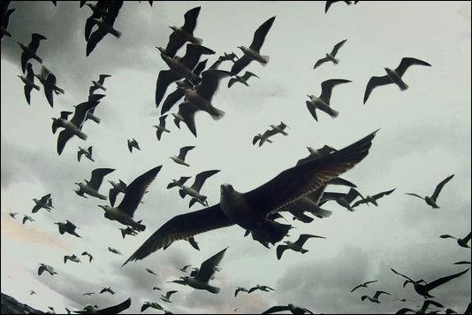 """Au début du film """"Les oiseaux"""" d'Hitchcock, le ciel est envahi anormalement par des oiseaux. Quels sont ces oiseaux qui piquent droit sur eux, alors que les enfants jouent à Colin-Maillard ?"""