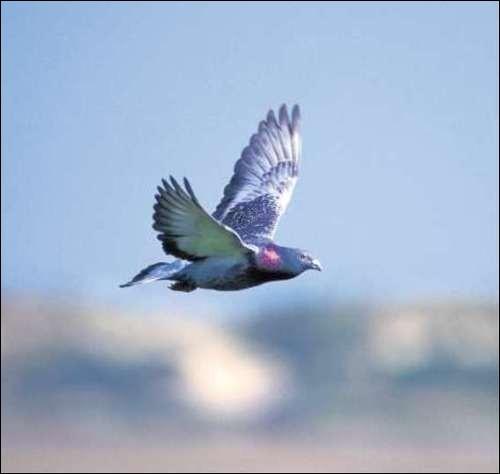 Quelle est, selon les colombophiles, et sauf exception, la distance maximum que peuvent effectuer les pigeons voyageurs ?