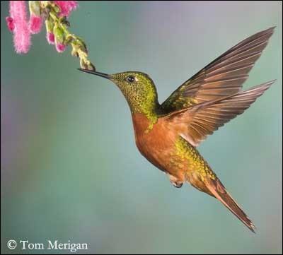 Qui sont ces petits oiseaux qui ont la particularité de pouvoir voler en arrière ?