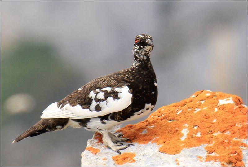 Quel est ce magnifique oiseau des Alpes qui prend la couleur de la neige, en hiver ?