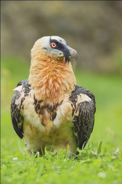 Je fais partie de la grande famille des vautours, mais mon alimentation est très particulière, je ...