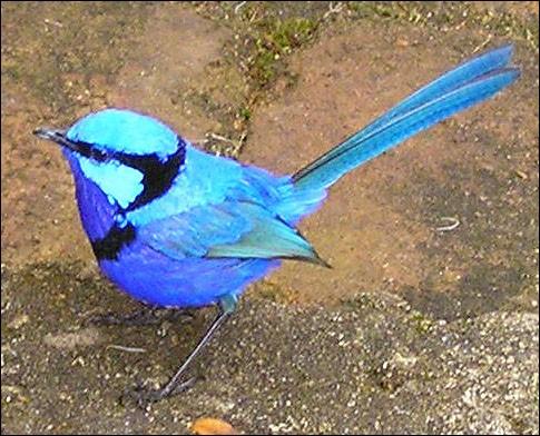 Quel est le nom de cette espèce d'oiseaux d'Australie dont seul le mâle reproducteur revêt ce plumage bleu, et qui vole sur de courtes distances, mais dont les ailes arrondies ne permettent pas des promenades aériennes prolongées ?