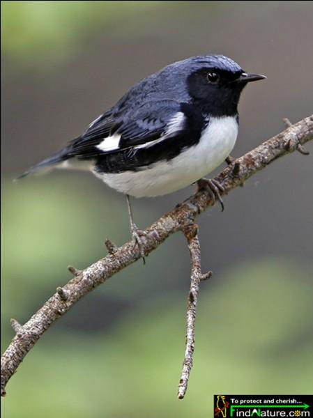 Quel est le nom de ce passereau au vol agile et rapide, qui habite essentiellement en forêt ?