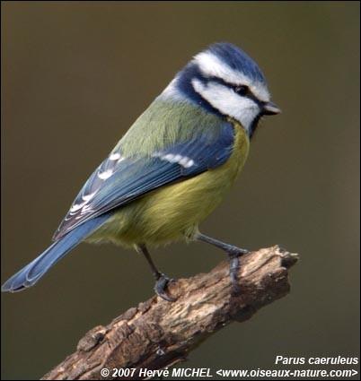 Quel est cet oiseau dont le plumage est partagé entre le jaune et le bleu, et dont le vol du mâle, durant la parade nuptiale, ressemble à une danse ?