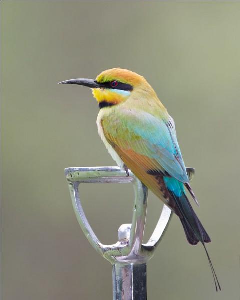 Quel est ce magnifique oiseau australien sur lequel on distingue un joli dégradé de bleu sur les ailes, et qui chasse en s'élançant sur sa proie et la poursuit en zigzaguant ?