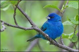 Comment se nomme ce petit oiseau migrateur vivant en Amérique, qui voyage la nuit, lors de sa migration ?