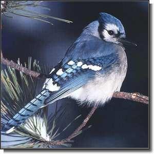 Les oiseaux aussi bleus que leur ciel !
