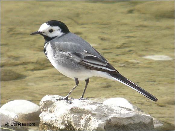 La bergeronnette grise, au vol ondulé, est-elle un oiseau migrateur ?