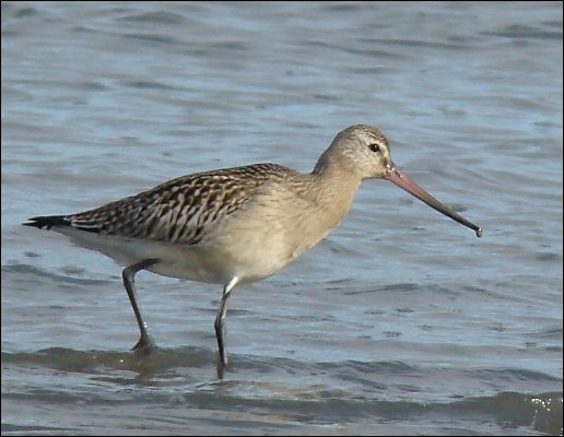 Quel est cet oiseau qui vole le plus loin, et capable de parcourir 11 500 km en 9 jours ?