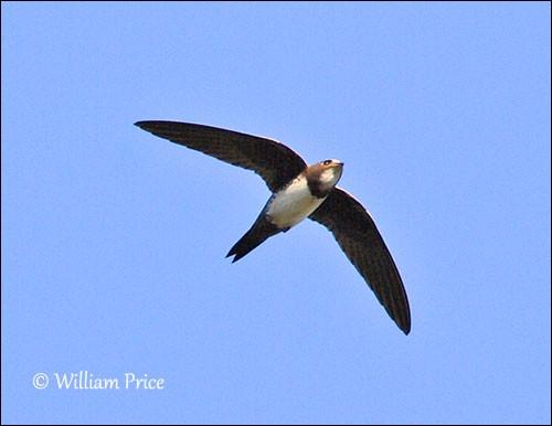 Quel est cet oiseau au vol battu très rapide qui est aussi un excellent planeur et qui peut dormir en volant ?