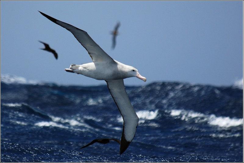 Quel est actuellement le plus grand oiseau volant au monde, avec une envergure pouvant atteindre 3, 70 mètres ?