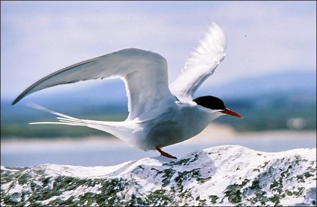 Quel est cet oiseau qui a la migration la plus longue et qui parcourt 40 000 km chaque année ?